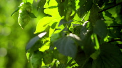 Ripe hop hanging on the branch Stock Footage