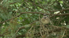 BlueJay in Spruce Tree 3 Stock Footage