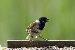 Reed Bunting - stock photo
