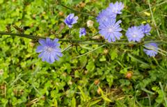 Stock Photo of Bunch of Wild Blue Chicory Flowers