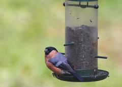 Bullfinch (Pyrrhula pyrrhula) - stock photo