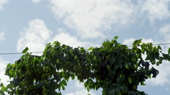 Hops ready for harvest Stock Footage