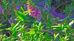 Wild flowers purple foxglove plant 1 Stock Footage