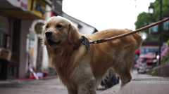 Golden Retriever in ancient town, barking and wagging tail Stock Footage