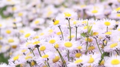 Bee flying over daisies Stock Footage