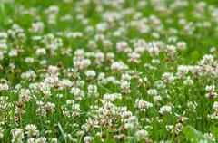 White clover (trefoil) flowers field, narrow depth Stock Photos
