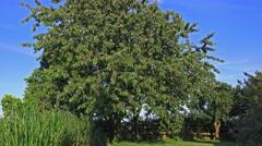 Summer fruit tree ripe red cherries 2 Stock Footage