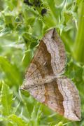 Shaded broad-bar  Moth ( Scotopteryx chenopodiata ) Stock Photos