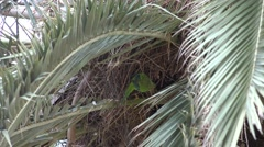 4K Cute green parrot bird scratch plumage hidden nest palm tree leaf exotic day Stock Footage