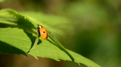 Two-spotted ladybird beetle unfolds and folds its wings Stock Footage