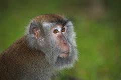 Langschwanzmakak Longtailed Macaque or crabeater Macaca fascicularis Bako Stock Photos