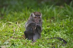 Crabeating Macaque Macaca fascicularis young sitting in the grass Bako Stock Photos