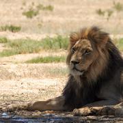 Lion Kuvituskuvat