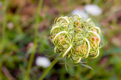 Daucus Carota Stock Photos
