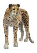 Cheetah Stock Illustration