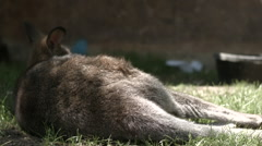 Wallaby Kangaroo Sleeping - stock footage