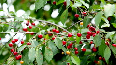 Cherries on branch Stock Footage