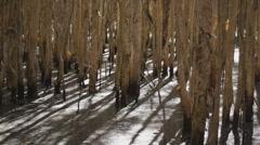 Wetlands in Australia (Paperbark Trees) - 25p Melaleuca quinquenervia Stock Footage