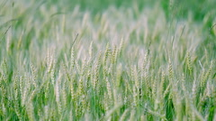Young green wheat swaying in the wind. Stock Footage