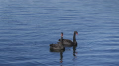 Black Swans Swimming - 25p 1080p - stock footage