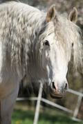 Portrait of beautiful andalusian mare in spring - stock photo