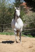 Stock Photo of Amazign white andalusian stallion moving