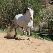 Amazign white andalusian stallion moving - stock photo