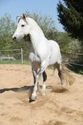 Amazign white andalusian stallion moving - stock photo