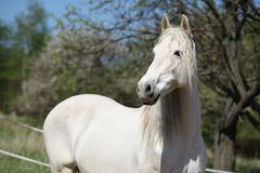 Andalusian mare with long hair in spring - stock photo