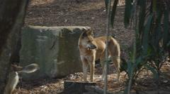 Australian Dingo (Canis lupus dingo) - 25p Stock Footage