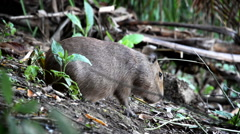 Capybara Closeup Stock Footage