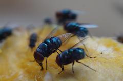Houseflies crawl and suck mango juice - stock photo