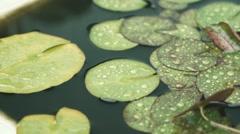 Lotus leaves under the rain, Tokyo, Japan Stock Footage