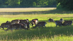 Group of deer in the meadow Stock Footage