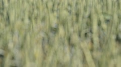 Detail of wheat field with a ladybird,rack focus Stock Footage