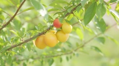Yellow plums in a garden - stock footage