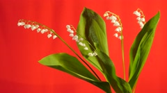 Stock Video Footage of May-Lily Chromakey Lily of The Valley White Flowers Chroma Key Alfa Red Screen