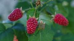 Tayberry (Rubus fruticosus x R. idaeus) Stock Footage