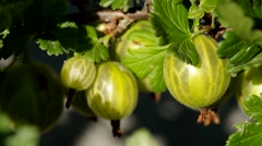 Gooseberries on the bush Stock Footage
