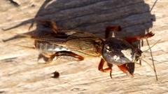 Mole Cricket, Gryllotalpa gryllotalpa Stock Footage