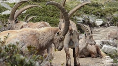 Group of ibex (Capra ibex) in Gran Paradiso National Park - Italy Stock Footage