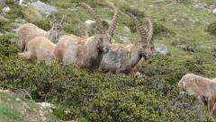 Male Ibexes are walking in the Alpine Praire Stock Footage