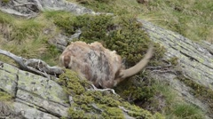 Stock Video Footage of Ibex, Capra ibex, bouquetin, scratch, male, Gran Paradiso National Park, Cogne,