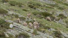 Several Ibexes (Capra ibex) in alpine praire in Gran Paradiso National Park, Stock Footage