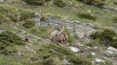 Ibex sleep in the Alpine Praire, Gran Paradiso National Park, Stock Footage