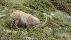 Stock Video Footage of Ibex, Capra ibex, bouquetin, mammal, male, Gran Paradiso National Park, Cogne,