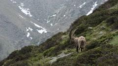 Capra ibex, bouquetin, mammal, male, Gran Paradiso National Park, Cogne Stock Footage