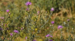 Pink thistle flowers in the wind tremble in the wind under sunshine - stock footage