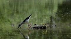 Stilt, black winged stilt,  Himantopus himantopus, Stock Footage