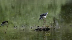Stilt on the nest (Himantopus himantopus) Stock Footage